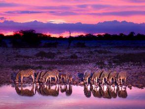 Zimbabwe Zebras Drinking